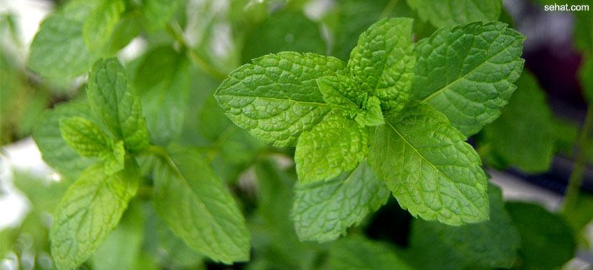 mint fever treatment