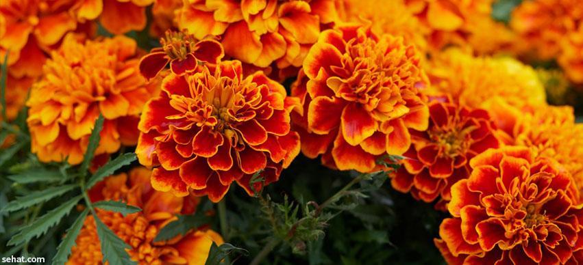 Marigolds Repels Mosquitoes