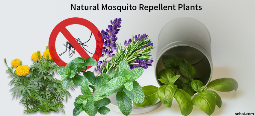 8 Amazing Plants that Repel Mosquitoes