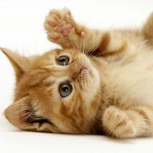 Cats may help in HIV vaccine