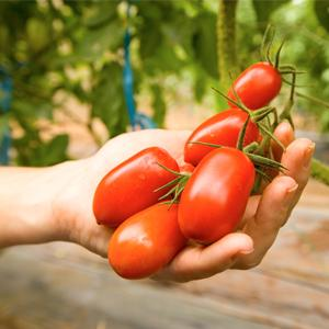 New research indicates benefits of eating tomatoes to fight kidney cancer